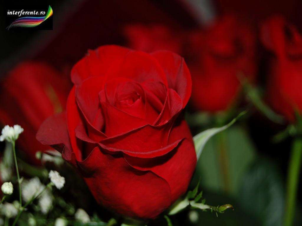 http://www.interferente.ro/images/stories//wallpapers/trandafiri_rosii/imagini%20trandafiri%20rosii%20avatar.JPG