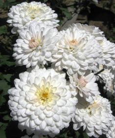 http://www.interferente.ro/images/stories/crizanteme/flori/crizanteme%20albe.jpg