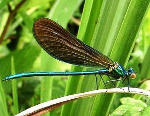 exemple de insecte zburatoare
