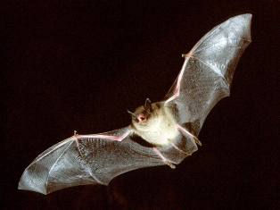Liliacul animal nocturn si brevetele naturale
