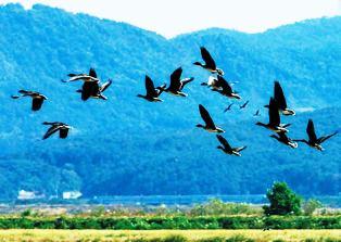 Pasarile migratoare orientarea si busolele pasarilor migratoare