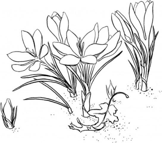 Flori de primavara - planse de colorat