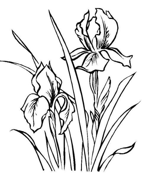 Irisi   Planse De Colorat