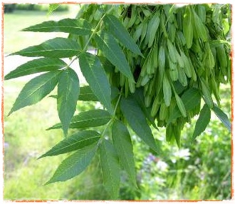 Frasinul planta medicinala