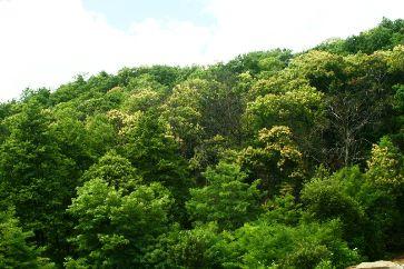 Arboretele de castan comestibil Baia Mare