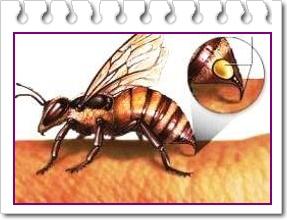 Veninul de albine si efectele sale terapeutice