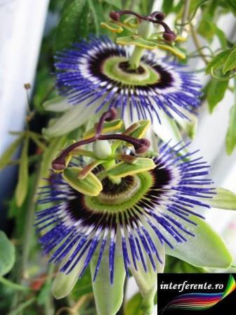 Floarea pasiunii remediu antistres