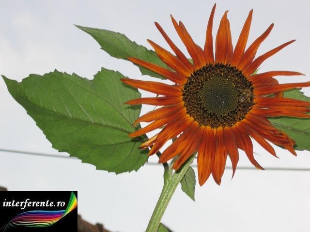 Legenda florii soarelui